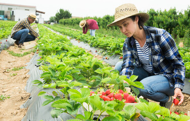 Fototapeta Middle aged woman farm worker harvesting organic strawberry at a field on a sunny day obraz