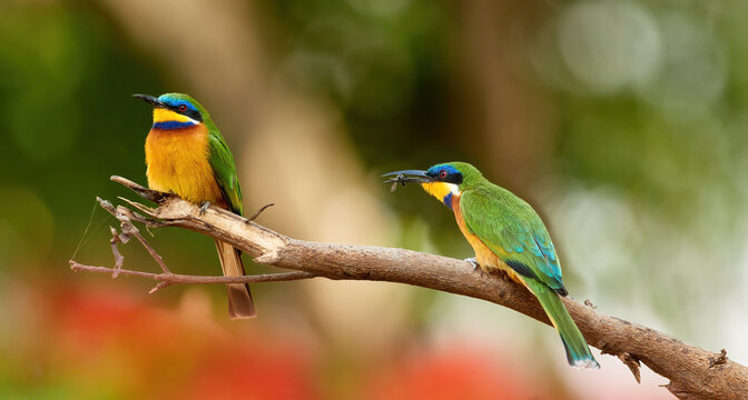 Two Blue-breasted Bee-eaters, Merops variegatus, mating pair of orange and green colored exotic birds,  blurred african forest in background. Bird photography in Ethiopia, lake Ziway.