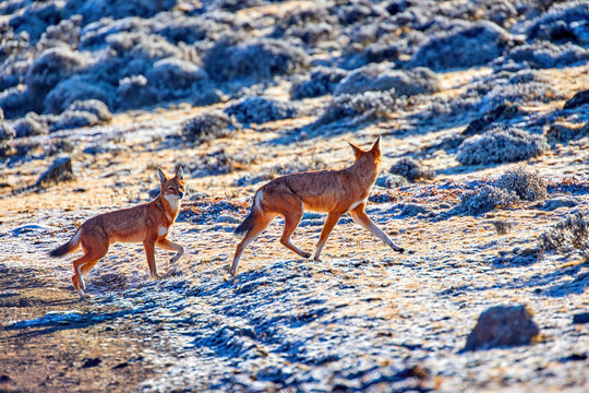 Highly endangered canid beast, pack of ethiopian wolves, canis simensis, running on frozen ground of Sanetti plateau, Bale mountains national park, Ethiopia, Africa.