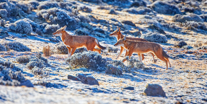 Panoramic photo of highly endangered canid beast, pack of ethiopian wolves, canis simensis, running on frozen hills of Sanetti plateau, Bale mountains national park, Ethiopia, Africa.