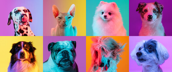 Obraz Art collage made of funny dogs different breeds and grace cat sphinx on multicolored studio background in neon light. - fototapety do salonu