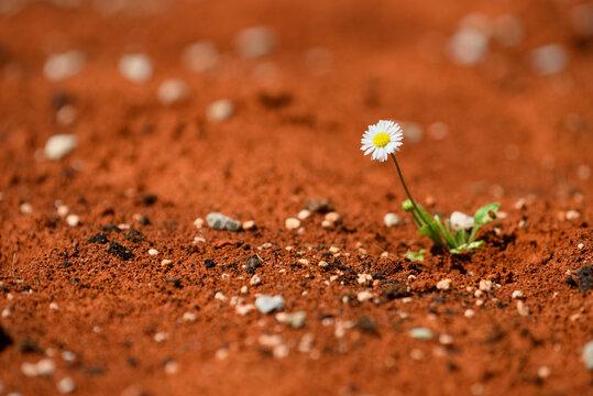 daisy plant surviving on red hot desert