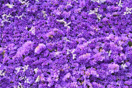 Blue and purple flowers of sea-lavender, statice, caspia, marsh-rosemary in thick carpet,