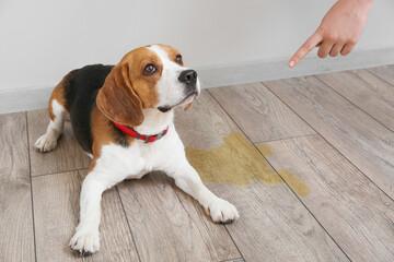 Owner scolding naughty dog for wet spot on floor