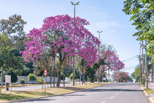 View of a large avenue with beautiful pink flowers of a Ipe tree. Photo at Mato Grosso avenue, Campo Grande city, MS - Brazil. Tree symbol of the city.