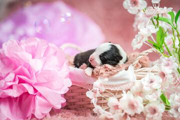 Fototapeta Szczeniak Border Collie na różowym kocyku w koszyku. Słodkie, urocze pieski, malutkie szczeniaczki. Rasowe Border Collie, Border collie merle, blue merle obraz