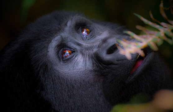 Mountain gorilla in the Bwindi Impenetrable Forest in Uganda