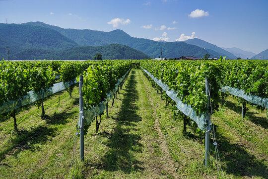 Nagano,Japan-July 22, 2021: Merlot grapes in vineyard