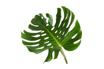 Green plant monstera on white background.