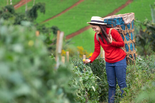 Asian Young woman farm worker with basket picking organic tomatoes in garden.