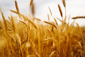 Obraz Golden field of wheat in a summer day. Growth nature harvest. Agriculture farm. - fototapety do salonu