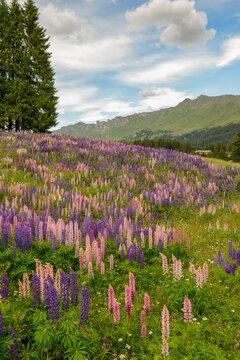 Flower garden at Valbella in the Swiss alps