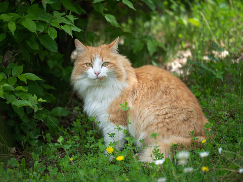 Beautiful Portrait of a Cat Hidden among the Leaves and with Light Brown and White Fur