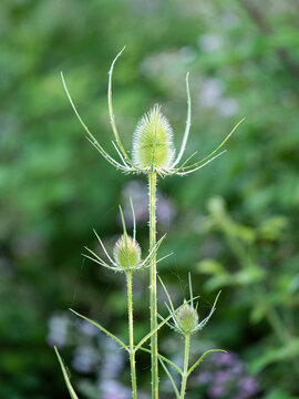 Dipsacus, Green Flowering Plant: Teasel with Prickly Stem