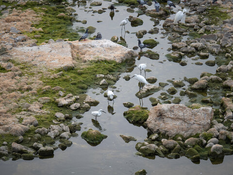 White Egrets and Pigeons Drinking in the Dry Riverbed