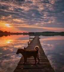 Fototapeta dog on a sunset pier obraz