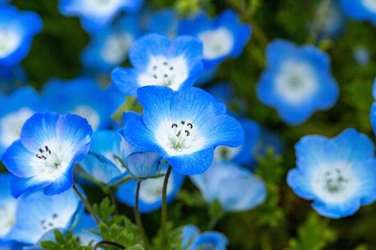 Blue Nemophila flowers in the garden ,Shikoku,Japan