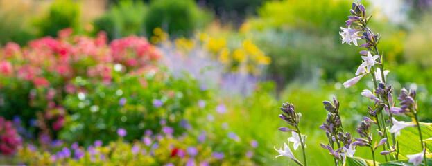 Obraz garden with perennial flower hosta -Funkia - fototapety do salonu