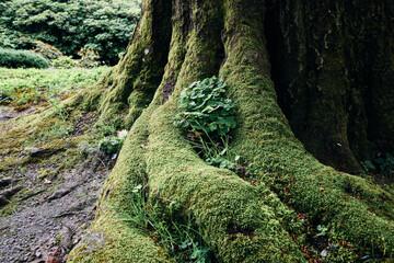 Obraz Tajemnicze stare drzewo daje schronienie małej roślince w omszałych konarach, korzeniach, pniach. - fototapety do salonu