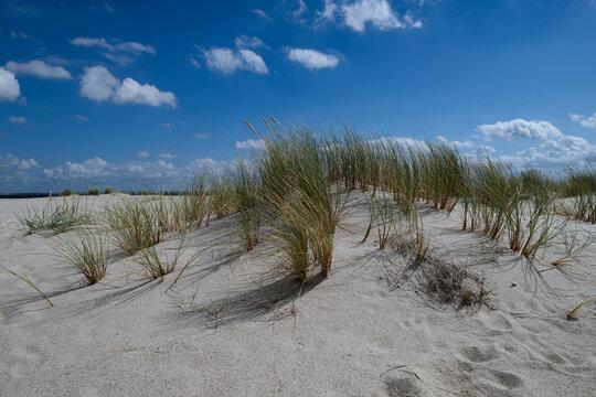 Strandhafer in den Dünen auf Sylt