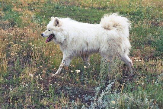 Samoyed Laika dog on the background of rustic nature