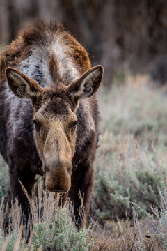 Moose stares at the camera