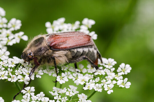 Adult European chafer is sitting on white flowers, close-up