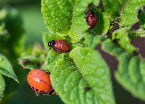 Larvae of Colorado potato beetle on a potato plant, close-up