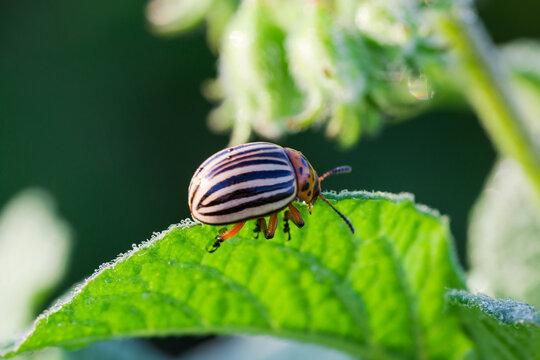 Adult Colorado potato beetle eats a potato leaf, close-up