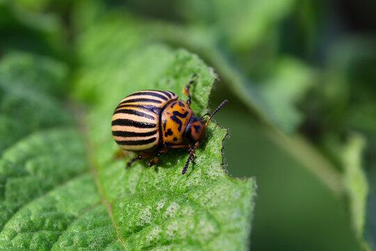 Adult Colorado potato beetle on a potato leaf, close-up