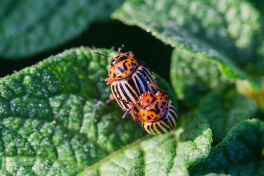 Mating Colorado potato beetles on a potato leaf, close-up