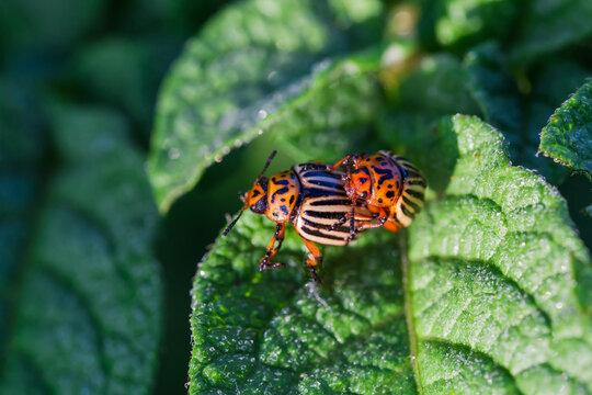 Colorado potato beetles on potato leaf during mating, close-up