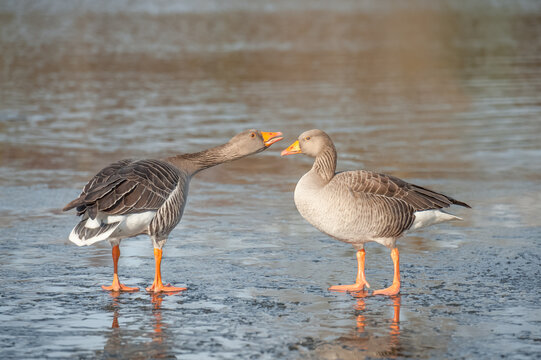an Egyptian goose honking at another on a frozen lake