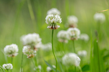 Obraz Trifolium repens, the white clover (also known as Dutch clover, Ladino clover, or Ladino), is a herbaceous perennial plant in the bean family Fabaceae. Macro shot of a white clover (trifolium repens)  - fototapety do salonu