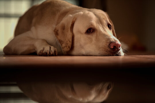 Close up Portrait of a brown - yellow labrador dog sleeping and looking side of the camera with with isolated background.