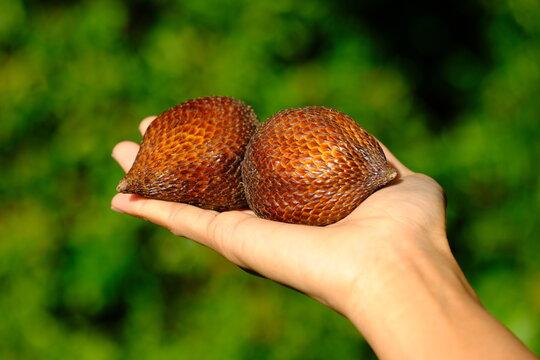 Indonesia Batam - Salak - Salacca zalacca - Snake fruit