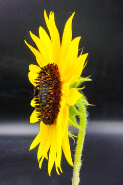 Ripe gold yellow summer sunflower flower Helianthus annuus  petals with dark seed pod center isolated on a black background