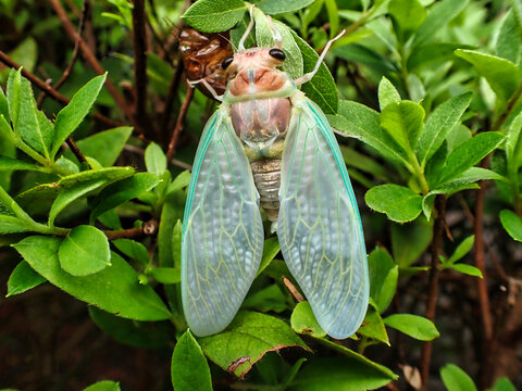 Tokyo,Japan-July 28, 2021: Newly emerged cicada on planting fence in Japan