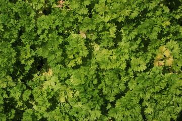 Fototapeta Semis de Persil Frisé Petroselinum crispum obraz
