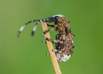 Platystomos albinus – Kobielatka siwak