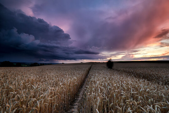 dramatic sunset over wheat field on hills