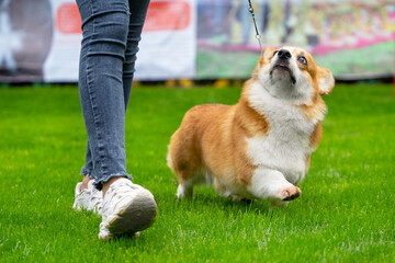 Lady trainer in jeans walks with funny little Pembroke Welsh Corgi on leash taking part in dog show in spring park closeup