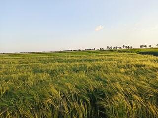 łąka, pole trawy, zboże, niebo