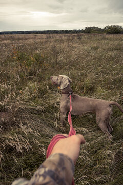 Hunting dog Weimaraner on a leash in rural field during hunting season