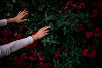 Fototapeta róże, krzew róży obraz
