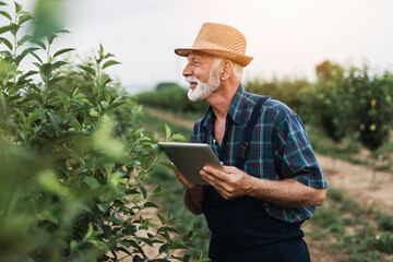 Obraz Sixty years old beard agronomist inspecting trees in orchard and using tablet computer. - fototapety do salonu