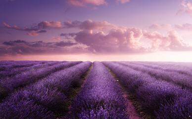 Obraz A vivid purple blooming lavender field in summer at sunset. Flower field landscape in the UK. - fototapety do salonu