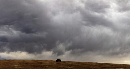 Buffalo at Theodore Roosevelt National Park in North Dakota