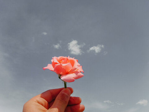 Pink rose held up by a hand against grey sky