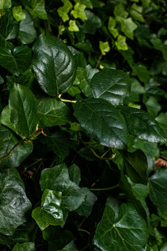 Ivy growing in a forest